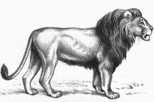 Лев готовится к прыжку