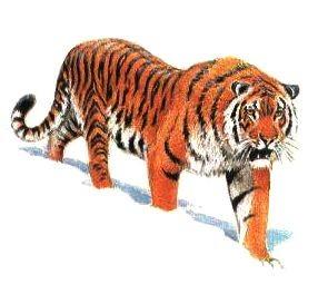 О тигр! Возрадуйся, что ты не человек!