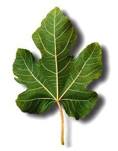 Фиговый листок