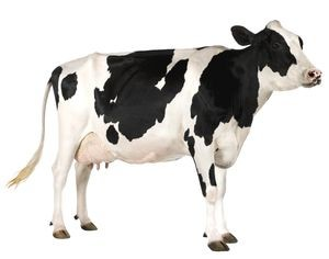 Такая корова нужна самому!